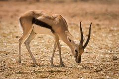 Thomson's Gazelle Royalty Free Stock Photography