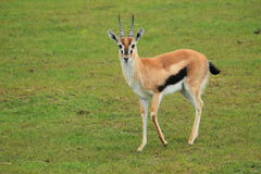 Thomson's gazelle Royalty Free Stock Image