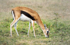 Thomson's Gazelle. Is bright cinndmon with bold black side strip, facial marks, and tail; faint to dark vertical lines on hams Royalty Free Stock Image