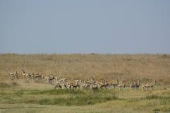 Thomson's Gazelle stock image