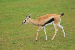 Thomsons gazelle Stock Photos