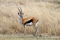 Thomson's gazelle. Alert in the plains of the Serengeti. Tanzania, Africa Royalty Free Stock Photography