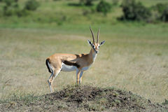 Thomson's gazelle. Beautiful Thomson's gazelle on savanna in Africa Stock Photos
