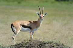 Thomson's gazelle. Beautiful Thomson's gazelle on savanna in Africa Royalty Free Stock Images