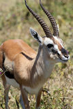 Thomson's gazelle Stock Images