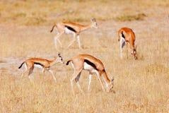 Thomson's gazelle Royalty Free Stock Photo
