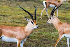 Thomson`s gazelle Eudorcas thomsonii in Ngorongoro. Thomson`s gazelle Eudorcas thomsonii, known as tommie, the most common type of gazelle in East Africa running Royalty Free Stock Photo