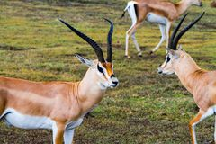 Thomson`s gazelle Eudorcas thomsonii in Ngorongoro. Thomson`s gazelle Eudorcas thomsonii, known as tommie, the most common type of gazelle in East Africa running Royalty Free Stock Photography