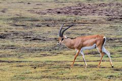 Thomson`s gazelle Eudorcas thomsonii in Ngorongoro. Thomson`s gazelle Eudorcas thomsonii, known as tommie, the most common type of gazelle in East Africa running Stock Photography