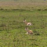 Thomson`s gazelle. Eudorcas thomsonii in Ngorongoro Crater, Ngorongoro Conservation Area, Tanzania. Africa Royalty Free Stock Images