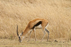 Thomson's gazelle feeding Stock Photo