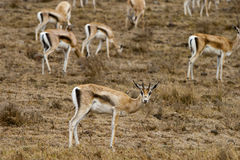 Thomson's gazelle feeding in rain Royalty Free Stock Images
