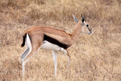 Thomson's Gazelle - Female Royalty Free Stock Photos