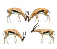 Thomson's gazelle four acting isolated white background use for. African wild life animals theme stock images