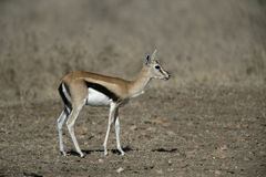 Thomson's gazelle, Gazella thomsonii, Stock Image