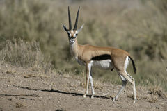 Thomson's gazelle, Gazella thomsonii, Stock Photos