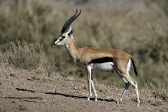 Thomson's gazelle, Gazella thomsonii, Stock Photography