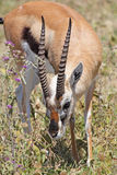 Thomson's gazelle grazing Stock Images