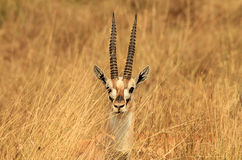 Thomson's Gazelle Headshot. Head of a Thomson's Gazelle (Eudorcas Thomsonii) Sticking up in the Grass, Serengeti, Tanzania Stock Images