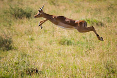 Thomson's Gazelle jumps in the Serengeti. A Thomson's Gazelle in the Serengeti, leaping across the field, in Tanzania, Africa Stock Image