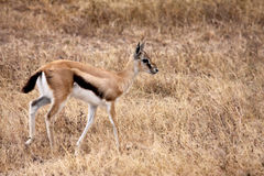 Thomson's Gazelle - Juvenile. A juvenile Thomson's gazelle in the Serengeti national park, Tanzania. Being a small antelope species Thommies are a favourite food Stock Photo