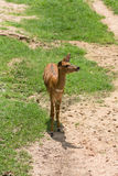 Thomson`s Gazelle. In Khao Kheow Open Zoo, Thailand Stock Images