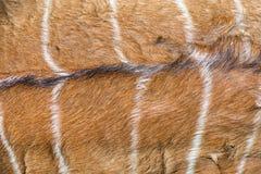 Thomson`s Gazelle. In Khao Kheow Open Zoo, Thailand Royalty Free Stock Image