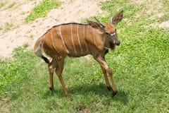 Thomson`s Gazelle. In Khao Kheow Open Zoo, Thailand Stock Image