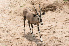 Thomson`s Gazelle. In Khao Kheow Open Zoo, Thailand Royalty Free Stock Photography