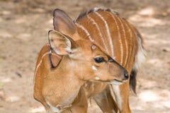 Thomson`s Gazelle. In Khao Kheow Open Zoo, Thailand Stock Photo