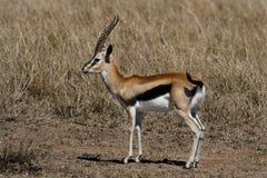 Thomson's gazelle male, Masai Mara. Thomson's gazelle male with long horns, Masai Mara Reserve, Kenya Royalty Free Stock Photo