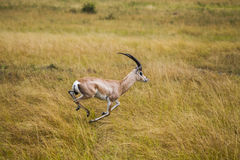 Thomson's gazelle. Nairobi National Park. Stock Images