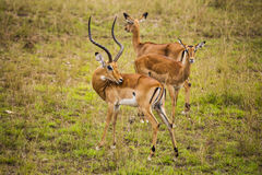 Thomson's gazelle. Nairobi National Park. Royalty Free Stock Images