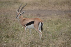 Thomson's gazelle Stock Image