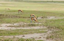 Thomson`s gazelle in Ngorongoro national Park. Thomson`s Gazelle scientific name: Gazella thompsoni, or `Swala tomi` in Swaheli in the Ngorongoro National park Royalty Free Stock Photography
