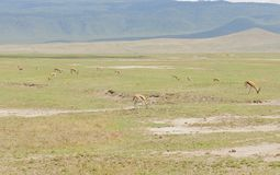 Thomson`s gazelle in Ngorongoro national Park. Thomson`s Gazelle scientific name: Gazella thomsoni, or `Swala tomi` in Swaheli in the Ngorongoro National park Royalty Free Stock Photography
