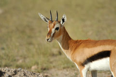 Thomson's gazelle Stock Photos