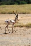 Thomson's gazelle Royalty Free Stock Photos