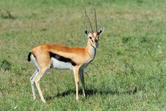 Thomson's gazelle Stock Photography