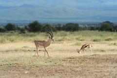Thomson's gazelle Royalty Free Stock Photography
