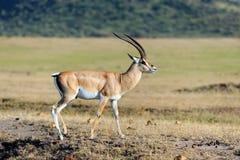 Thomson's gazelle on savanna Stock Image