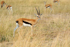 Thomson's gazelle on savanna in Africa Stock Photos