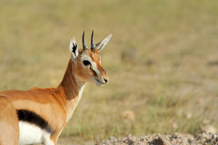 Thomson's gazelle Royalty Free Stock Photos