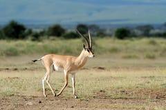 Thomson's gazelle. On savanna in National park. Kenya, Africa Royalty Free Stock Image