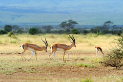 Thomson's gazelle Royalty Free Stock Images