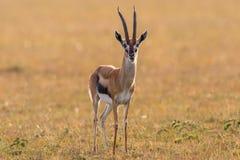 Thomson's gazelle Stock Photos