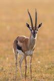 Thomson's gazelle on the savannah Stock Photo
