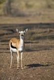 Thomson`s gazelle Stock Photos