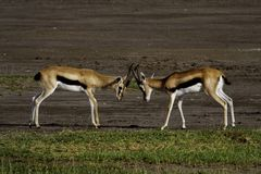 Thomson's gazelles fighting Royalty Free Stock Photo
