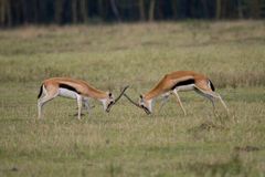 Thomson's Gazelles Fighting. Two Thompson Gazelle bucks in fight for territory Royalty Free Stock Photography